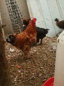 دجاج للبيع الجبيل