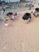 دجاج وديوك رومي للبيع
