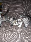 0 - قطط شيرازي   عمر 45