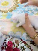 قطط هيمالايا و امريكي للبيع