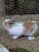 أرانب صغار