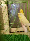 طيور  بادجي طيور الحب