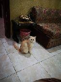 قطه انثى النوع شيرازي