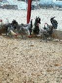 دجاج فيومي جامبو (تم البيع)