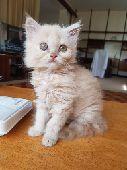 قطوة شيرازى للبيع