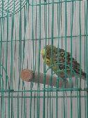 طيور بادجي (طيورحب) الوان فيها المنتج .