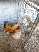 دجاج براهما امريكي
