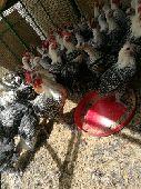 دجاج فيومي للبيع
