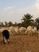 غنم للبيع -الموقع رنيه