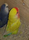 جدة - طيور روز
