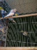 طيور الحب هوقو