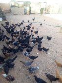 للبيع صوص دجاج و ديوك عدد 120 جوز