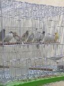 طيور كناري مميزه للبيع
