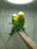 للبيع جوز طيور بادجي انجليزي