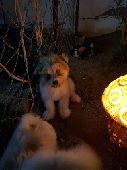 كلاب زينه