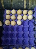 بيض دجاج رومي مخصب
