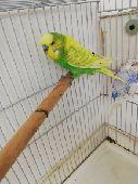 للبيع اذكر طيور الحب انقليزي ماكس