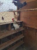 دجاج بياض وحضان وديك