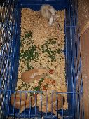 ارانب بلدي للبيع مع كناري