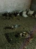 دجاج مشاريع وباكستان للبيع القنفذة