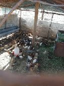 صوص دجاج بلدي  nالصحة ممتازة ولله الحمد  n