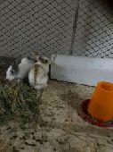 للبيع زوج ارانب