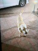 كلب لابلادور كلب حراسه ممتاز