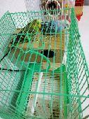 نجران - زوجين طيور حب استرالي