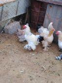 للبيع دجاج براهما