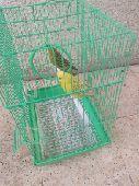 نجران - زوج طيور الحب الأنثى