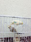 زوج طيور الحب للبيع
