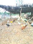 دجاج بلدي الخرج مزارع الصحنه