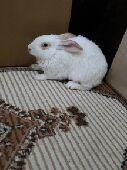 للبيع ارنب