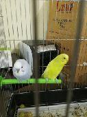 طيور للبيع مزاد