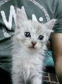 لتبني  قطه شيرازي العمر شهر وكم يوم