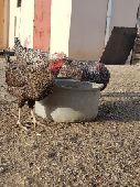 8 دجاجات فيومي تركي