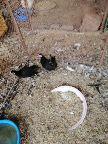 دجاج بلدي بيض وتفريخ