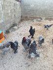 دجاج ابراهما خوارج