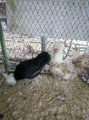 دجاج فرنسي بياض