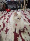 قطه شيرازي همالايا