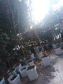 اشجار ليمون وبرتقال