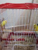 زوجين طيور حب