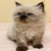 قطط همالايا للبيع عمر 50 يوم