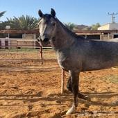 حصان شعبي طررب للبيع