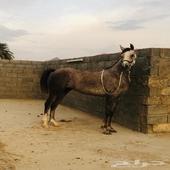 حصان عربي اصيل ومهره طرررب