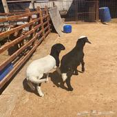 خروف ورخل مهجنات للبيع
