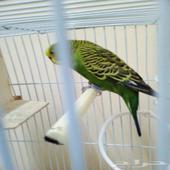 طيور بادجي ذكر للبيع