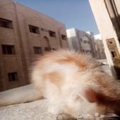 قط شيرازي للبيع .