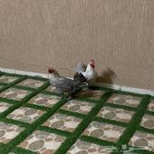 دجاجه و ديك فيومي