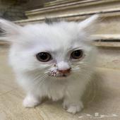 قطط شيرازيه للبيع صغيره بالعمر